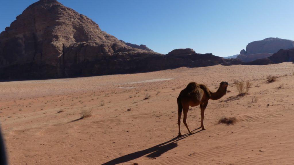 Wadi Rum wielbądy